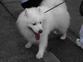 perro de Takayama