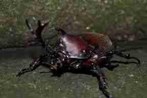escarabajo en Fushumi Inari