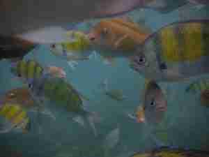 peces simpaticos