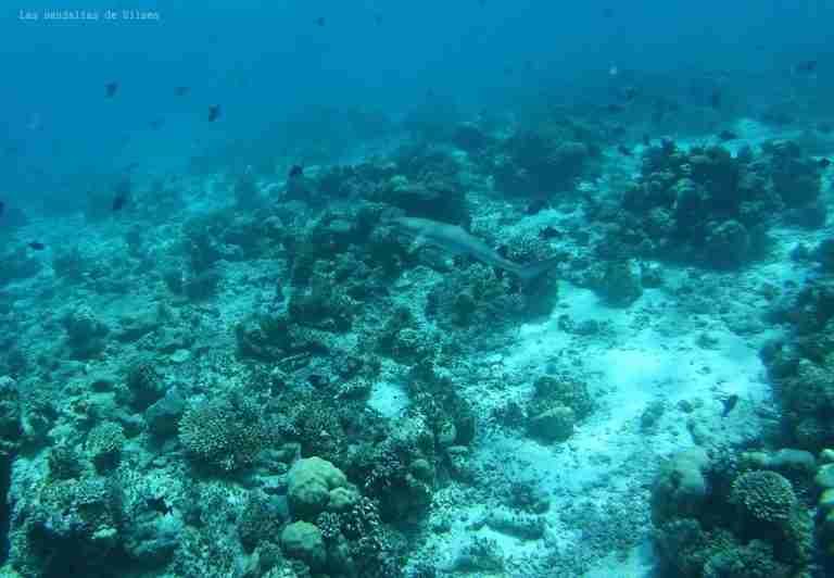 Clara viendo el Tiburon de coral, Maldivas