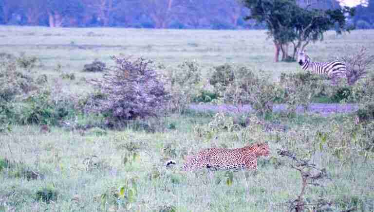 leopardo cazando en nakuru