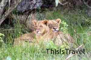 leones en Nakuru