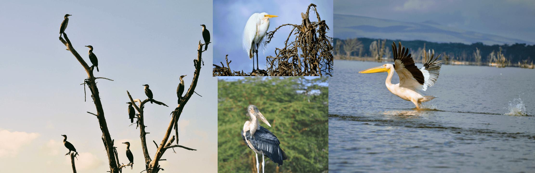 aves del lago Naivasha