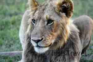 1º plano de un león joven