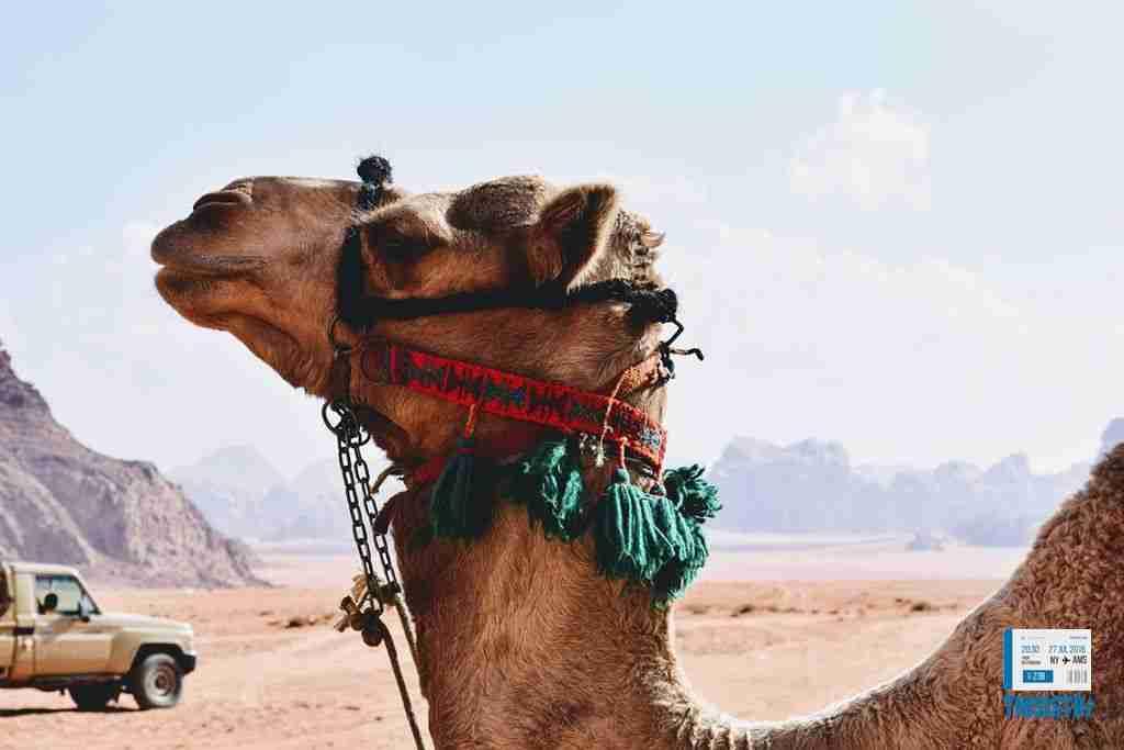 camello en el desierto del Wadi Rum, Jordania